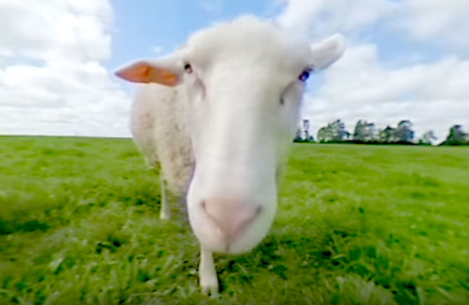 farm sheep 360 camera